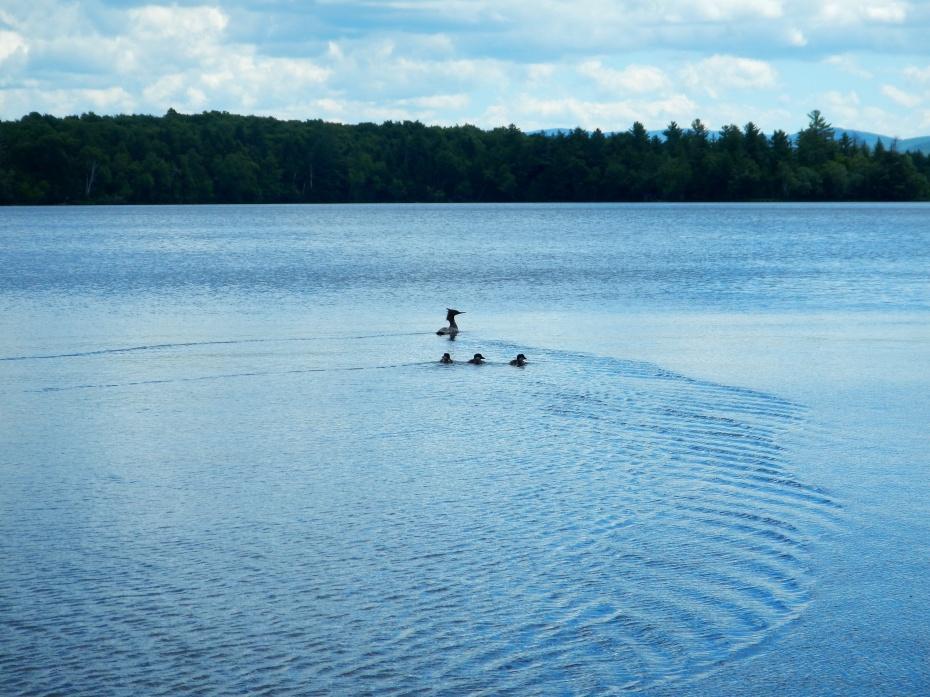 Merganser with chicks on Lake Umbagog, NH